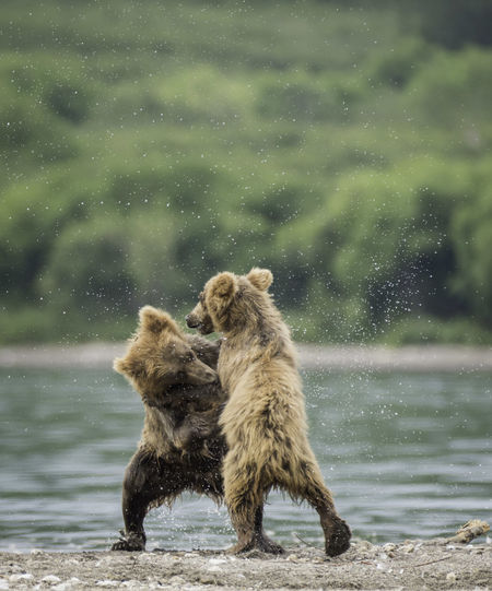 Fight Cub Animals In The Wild Bear Capture The Moment EyeEm Best Shots EyeEm Nature Lover EyeEm Gallery Nature Nature Photography The Week Of Eyeem The Week On EyeEm Animal Animal Themes Animal Wildlife Animals Beauty In Nature Bokeh Close-up Eye4photography  Mammal Nature Nature_collection No People Outdoors Two Animals Water