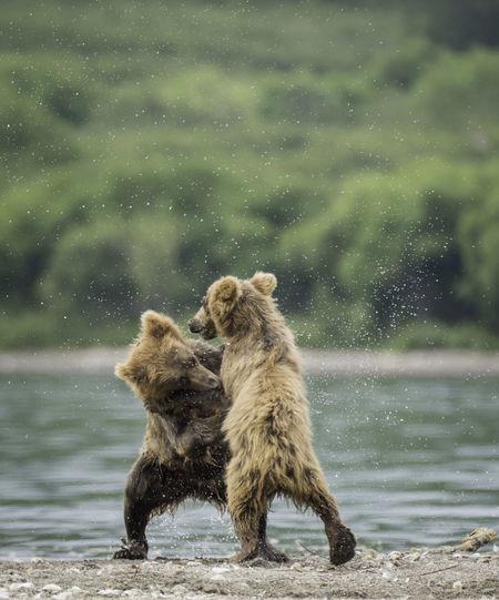 Bears fighting at riverbank