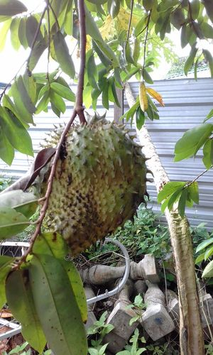 Soursop Fruit Growth Nature Tree No People Plant Green Color Day Beauty In Nature Fruit Outdoors Close-up Food Freshness Backyard Healthychoices