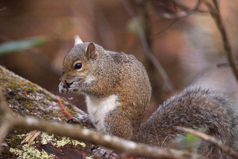 Fat eastern gray squirrel Sciurus carolinensis forages for food in a tree in Naples Florida Climb Eating Animal Animal Themes Animal Wildlife Animals In The Wild Close-up Day Eastern Gray Squirrel Gray Squirrel Mammal Nature No People One Animal Outdoors Sciurus Carolinensis Squirrel Wildlife