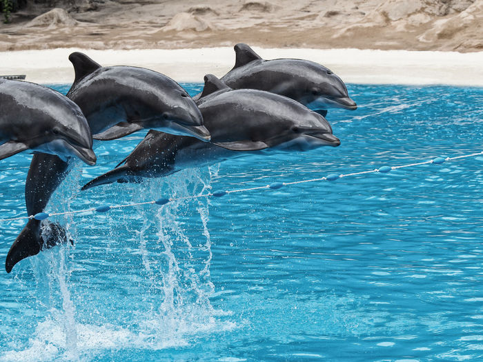 Animal Themes Animal Wildlife Animals In The Wild Aquatic Mammal Coordination Day Dolphin LoroParque Mammal Motion Nature No People Outdoors Sea Splashing Teneriffa Water