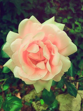 Je vous offre la Première Rose du Jardin 🌹 🌹ROSE🌹 FLEUR ROSE Fleur Dans Mon Jardin