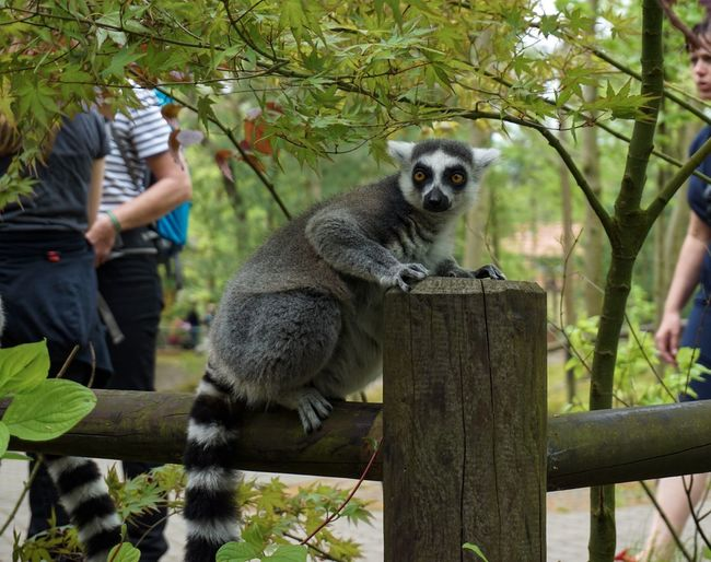 Hello World Zoo Mammal Animal Wildlife Animals In The Wild Tree Lemur One Animal Plant Vertebrate Nature Wood - Material Primate Full Length People Fence Day Boundary Outdoors Barrier