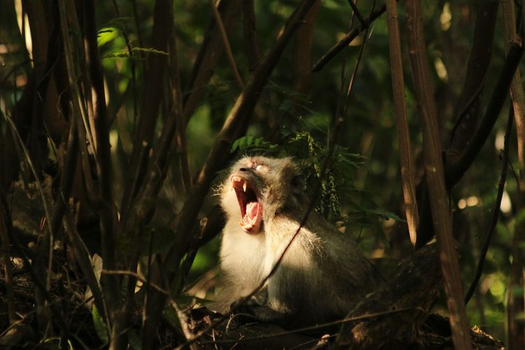 Close-up of lion yawning
