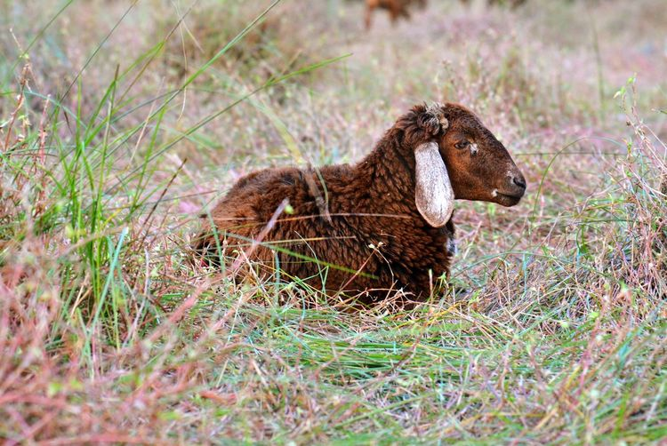Grass Animal Nature One Animal Animal Wildlife Animals In The Wild No People Animal Themes Outdoors Close-up Mammal Day Beauty In Nature Silence Lamb