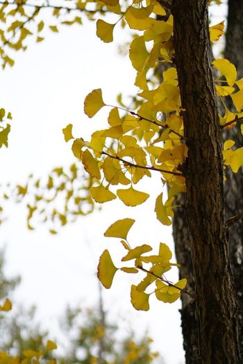 Autumn leaves Bark Beauty In Nature Branch Close-up Day Flower Flowering Plant Focus On Foreground Growth Leaf Low Angle View Natural Condition Nature No People Outdoors Plant Sky Spring Tranquility Tree Tree Trunk Trunk Yellow