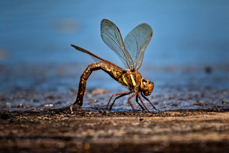 Dragonfly laying eggs on the surface of a lake