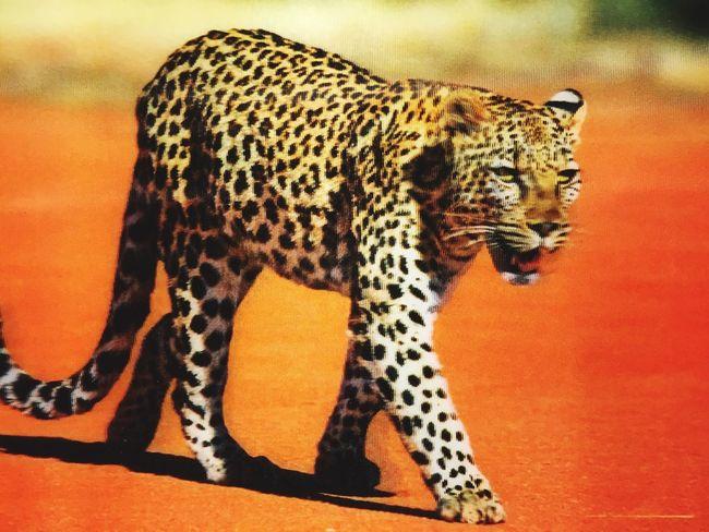 3D Tiger Postcard 3D Pistcards Love Them ❤
