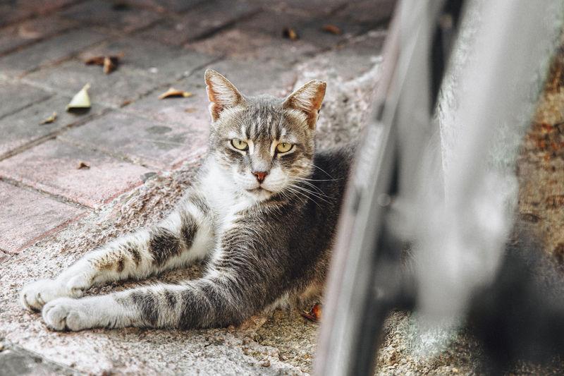 Portrait of a cat lying down