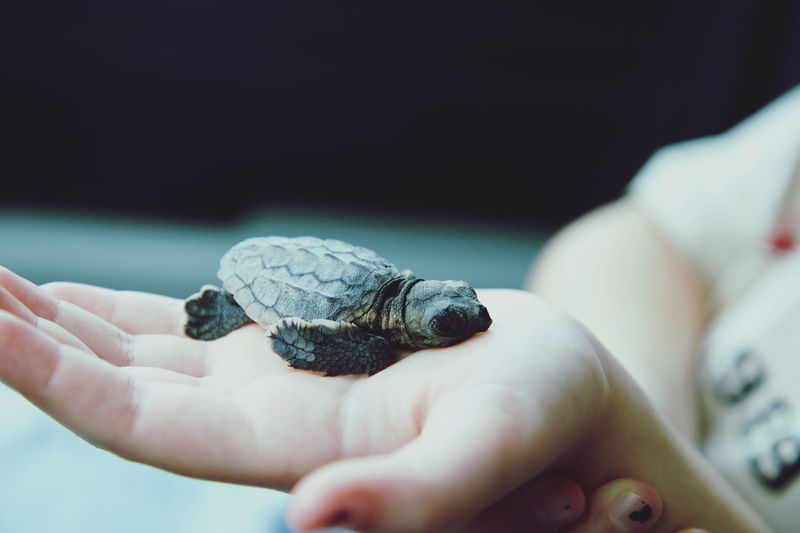 Close-up of hand holding small hatchling
