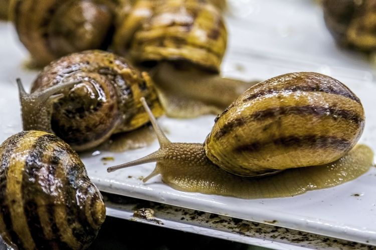 Helix Aspersa Maxima Snail African Snails Brown Close-up Crawling Snail Focus On Foreground Food Freshness Gastropod Molluscs No People Selective Focus Shell Snails