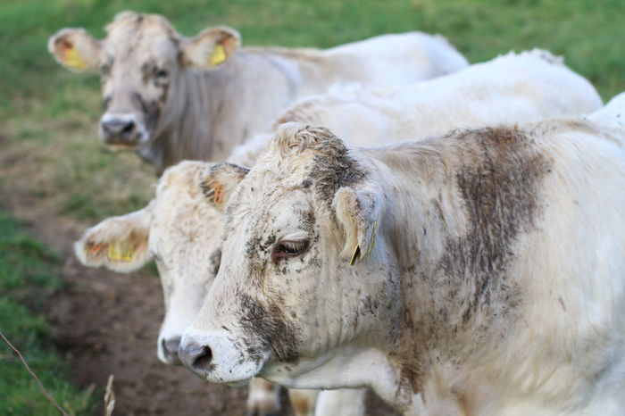 Animal Themes Cattle Close-up Cow Day Domestic Animals Field Grass Livestock Mammal Nature No People Outdoors Portrait