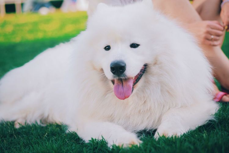 Dog Pets Domestic Animals Mammal Grass One Animal Animal Themes Pomeranian Human Body Part One Person Outdoors Day Portrait Close-up Human Hand People Samoyed Kiss Dogs Nature Fluffy