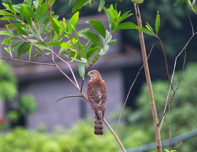 Eagle Bird Tree