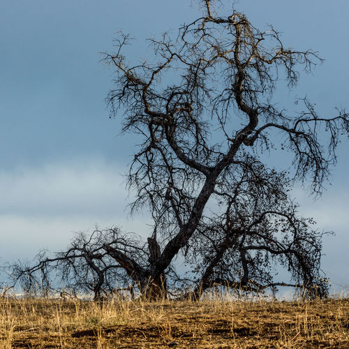 Tree Nature Sky No People Outdoors Tranquility Sunset Branch Beauty In Nature Tree Trunk Oak Single Tree Scenics Plant