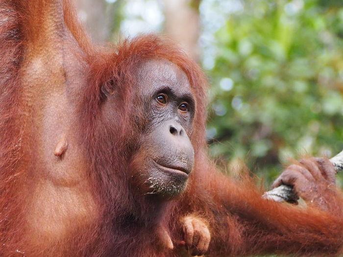 Close-up portrait of a orangutan