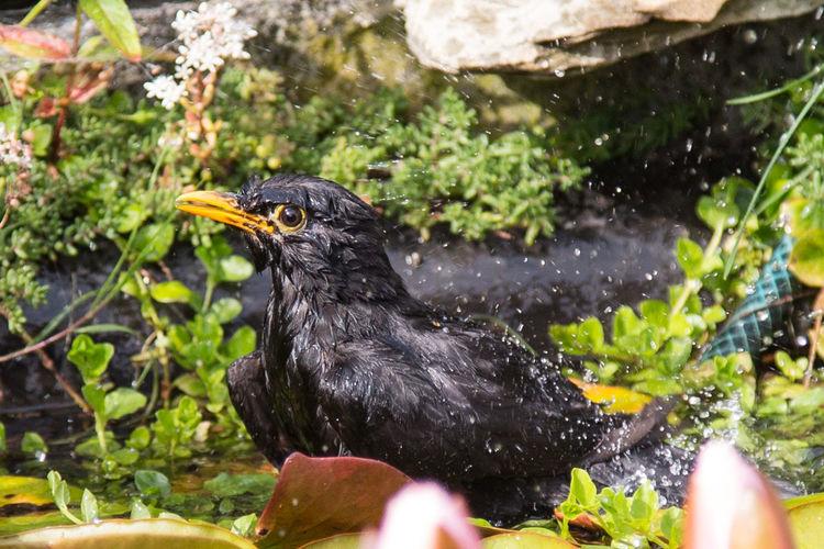 Blackbird In Water