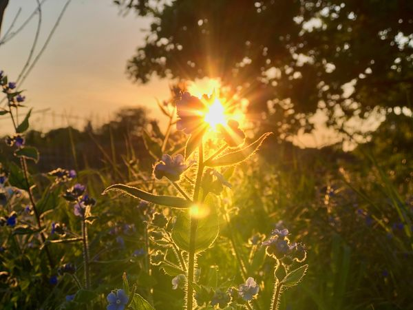 Evening light in the garden Beauty In Nature Bright Close-up Field Flower Flower Head Flowering Plant Fragility Freshness Growth Land Lens Flare Nature No People Outdoors Plant Sky Sun Sunbeam Sunlight Sunset Tranquility Vulnerability