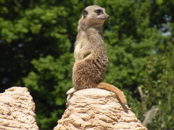 Meerkat I Love Animals Whipsnade Zoo Animal_collection EyeEm Nature Lover Beautiful Nature Animal Photography
