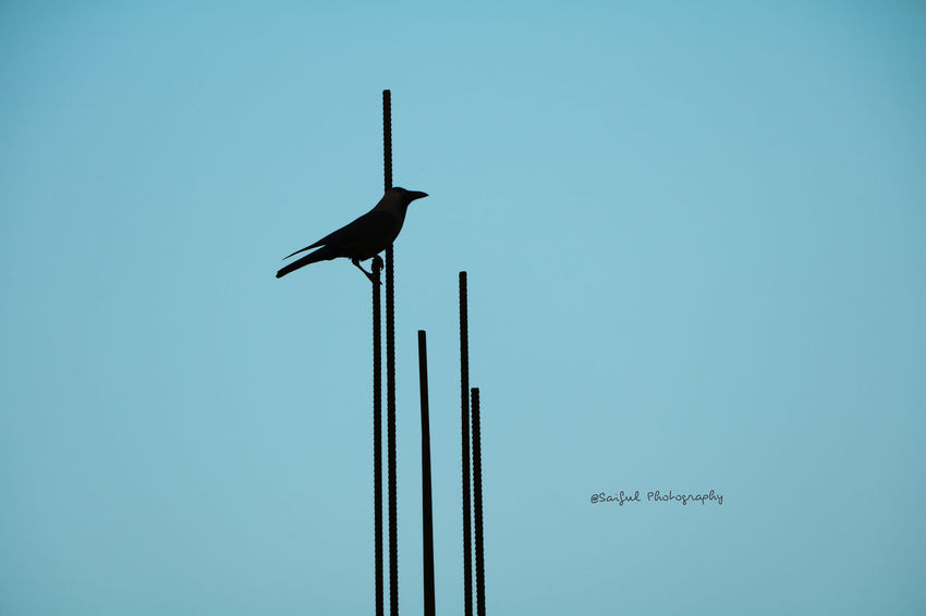Blue Bird Clear Sky Animal Wildlife Sky Animals In The Wild No People One Animal Technology Silhouette Animal Themes Nature Outdoors Antenna - Aerial Perching Day