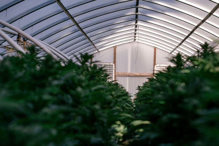 Low Angle View Of Cannabis Greenhouse