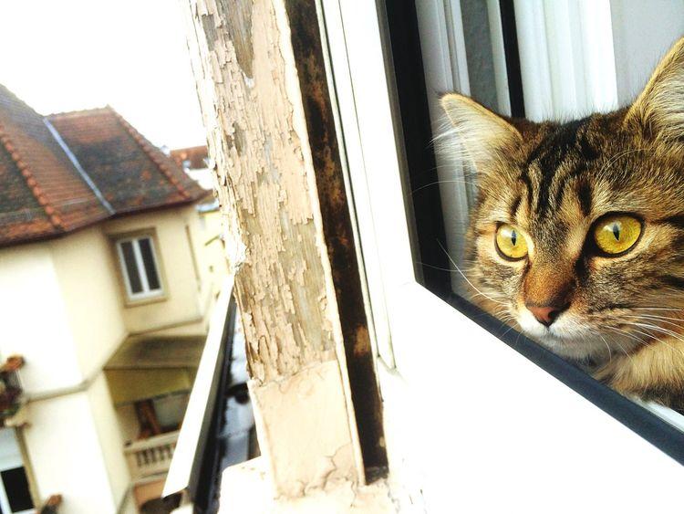 My Cat Cats Of EyeEm Catsagram Catlovers I ❤ Cat  Cute Pets Animals Likeforlike Folowme