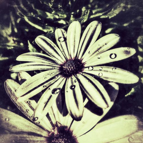 Osteospermum diary flowers, with water droplets after rain. African Daisy Beauty In Nature Botany Close-up Daisy Extreme Close-up Flower Flower Head Focus On Foreground Fragility Freshness Garden Growth In Bloom Nature No People Osteospermum Petal Pollen Season  Single Flower Springtime Water