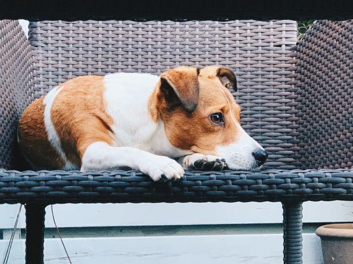 Dog lying down on chair