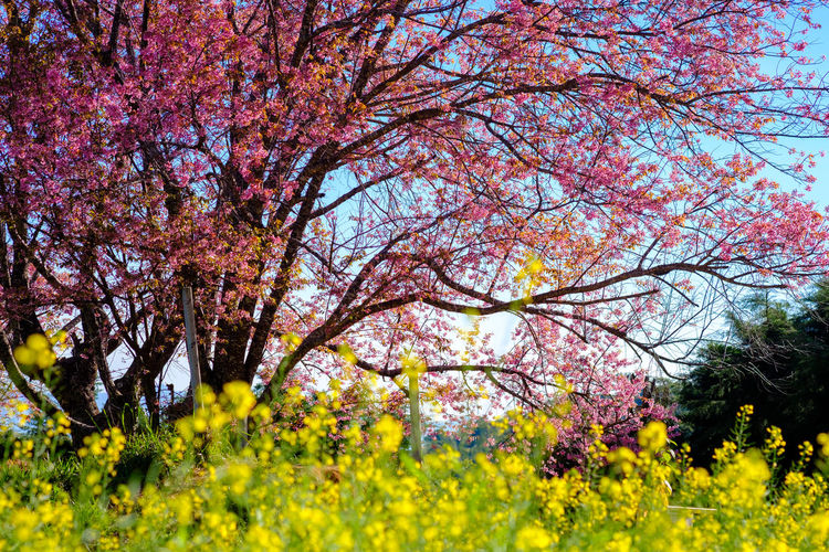 Plant Flower Tree Flowering Plant Beauty In Nature Springtime Growth Blossom Branch Nature Freshness No People Pink Color Fragility Yellow Landscape Agriculture Tranquility Day Land Outdoors Cherry Blossom Cherry Tree Change