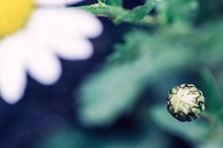 Oxeye Daisy Flower Beauty In Nature Beginnings Bud Daisy Flowers Fragility Knospe Margeriten Nature Oxeye Macro Beauty