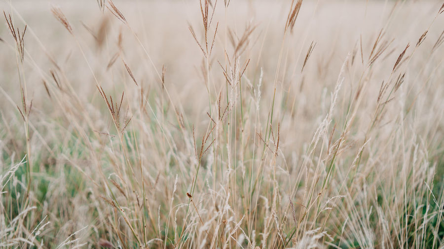 Grass Plant Agriculture Backgrounds Beauty In Nature Cereal Plant Close-up Crop  Day Farm Field Full Frame Growth Land Landscape Nature No People Outdoors Plant Rural Scene Selective Focus Stalk Tea Plant Tranquility Wheat