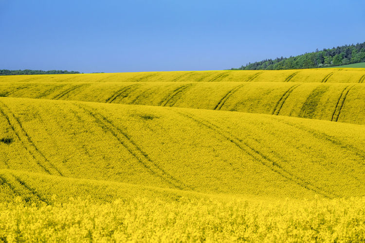 Beautiful curves of the hills with blooming canola cultures, waves of yellow flowers, in South Moravia, Czech Republic, on a sunny day of May. Czech Republic Hills Agriculture Blue Clear Sky Environment Field Land Landscape Moravia Nature No People Outdoors Rapeseed Rolling Landscape Rural Scene Tranquil Scene Yellow