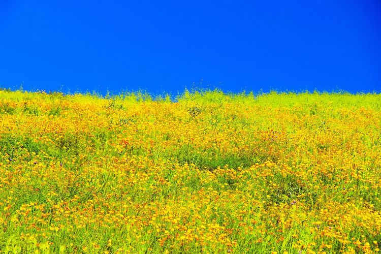 yellow poppy flower field with blue sky Flower Flower Field Poppy Poppy Flower Poppy Field Field Green Color Green Nature Green Blue Sky Yellow Flower Yellow Poppy Nature Nature_collection Landscape Spring Spring Season Blooming Blooming Flower Blossom Flora Floral Scenic Scenery