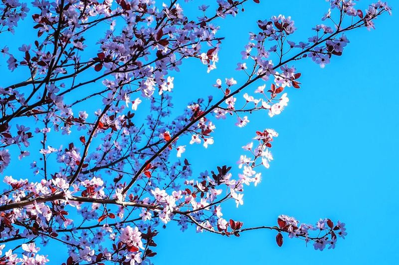 Spring blossoms on a Japanese Cherry tree. Cherry Blossoms Spring Tree