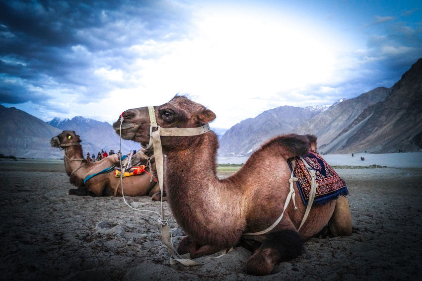 Double humped wild camles Adventure Animal Themes Beauty In Nature Camel Camels Cloud - Sky Day Domestic Animals Double Hump Camels Hundar Landscape Mountain Mountain Range Nature No People Nubra Valley Outdoors Sand Sand Dunes Scenics Sitting Sky Travel Destinations Vacations Wild Camels