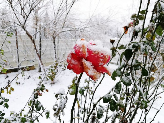 Red Rose Frozen Flower Frozen Rose Winter Winter In The Garden Snow Snowing Winter Snow Cold Temperature Red Nature Branch Tree Shades Of Winter