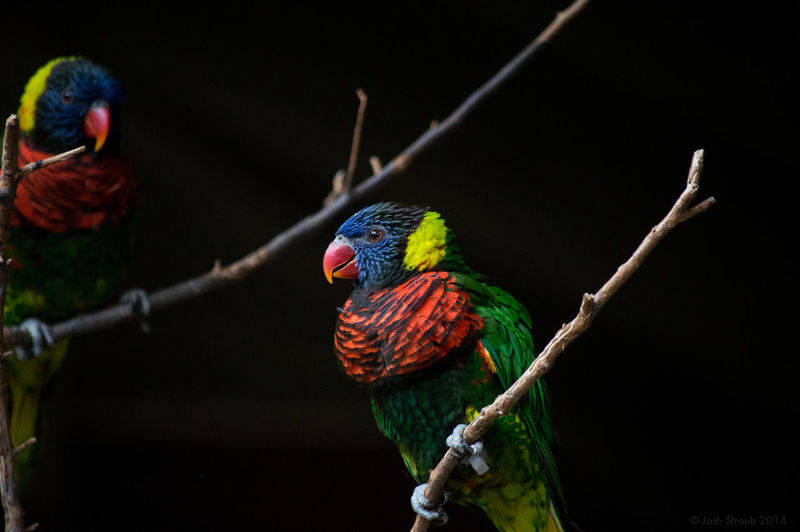 Animal Animal Themes Animals Avian Beauty In Nature Bird Birds Black Background Close-up Color Palette Feather  Focus On Foreground Nature Nature No People Parrot Perching Wildlife Coulor Of Life
