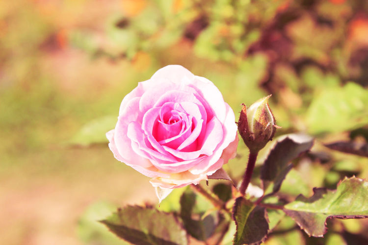 Beautiful pink rose flower blooming close up. Love Pink Pink Rose Valentine Beauty In Nature Blooming Close Up Close-up Day Floral Flower Flower Blooming Flower Head Focus On Foreground Fragility Freshness Growth Nature No People Outdoors Petal Pink Color Pink Flower Plant Rose - Flower