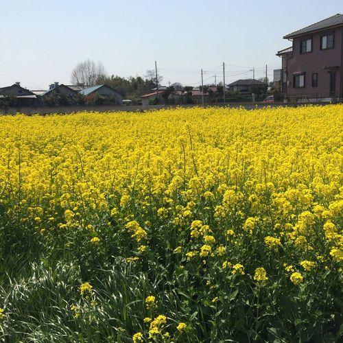 菜の花の黄色がとても鮮やかでした?