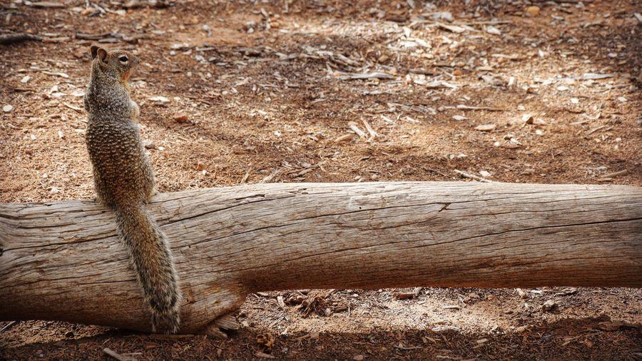Rear View Of Alert Squirrel On Fallen Tree Trunk