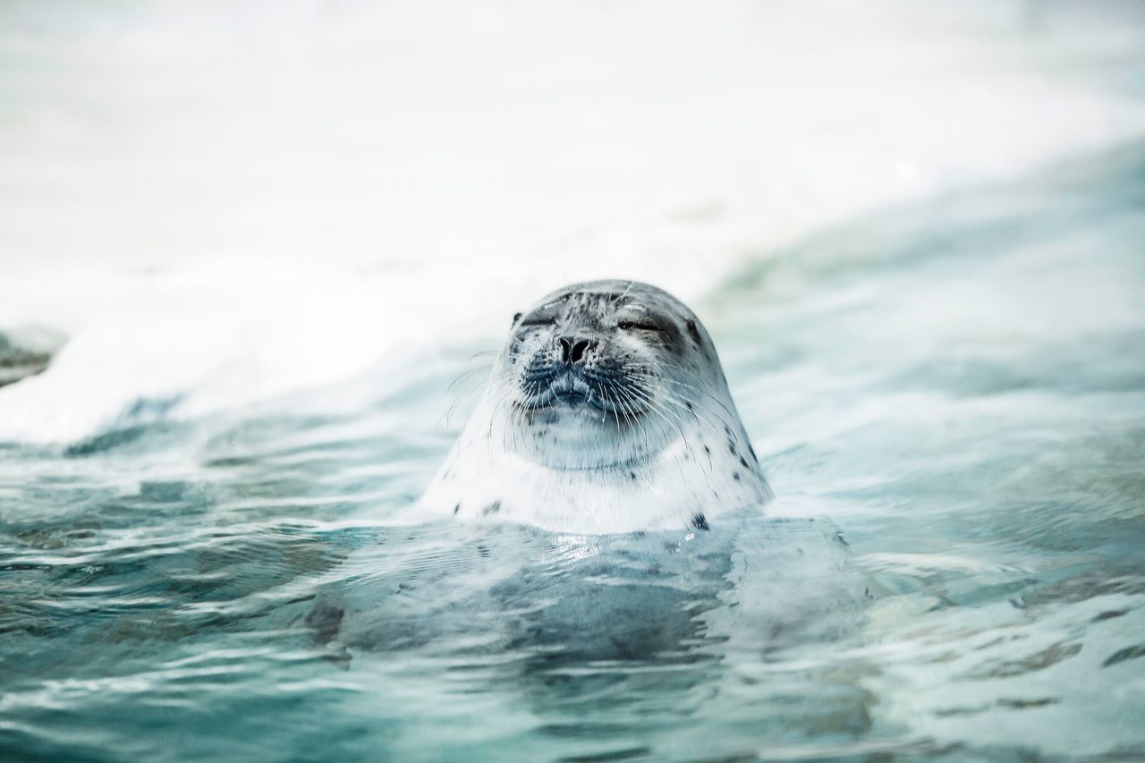 Seal swimming in sea during winter