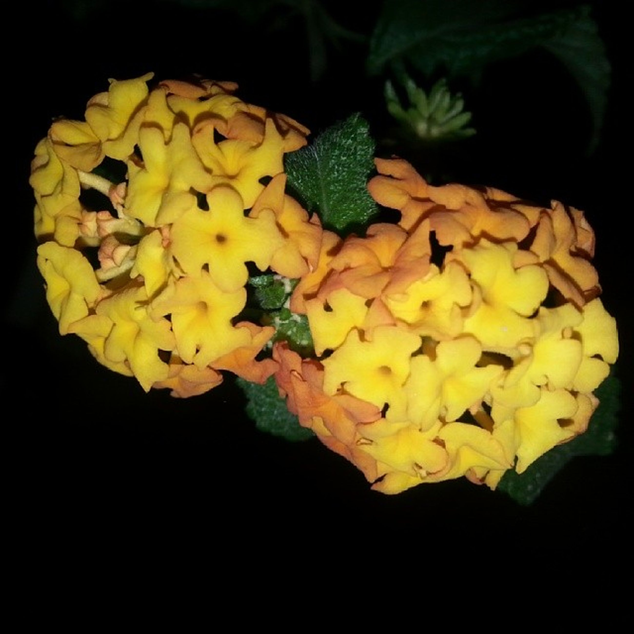 flower, petal, freshness, yellow, fragility, flower head, studio shot, beauty in nature, black background, growth, close-up, nature, blooming, bunch of flowers, blossom, high angle view, plant, in bloom, no people, leaf