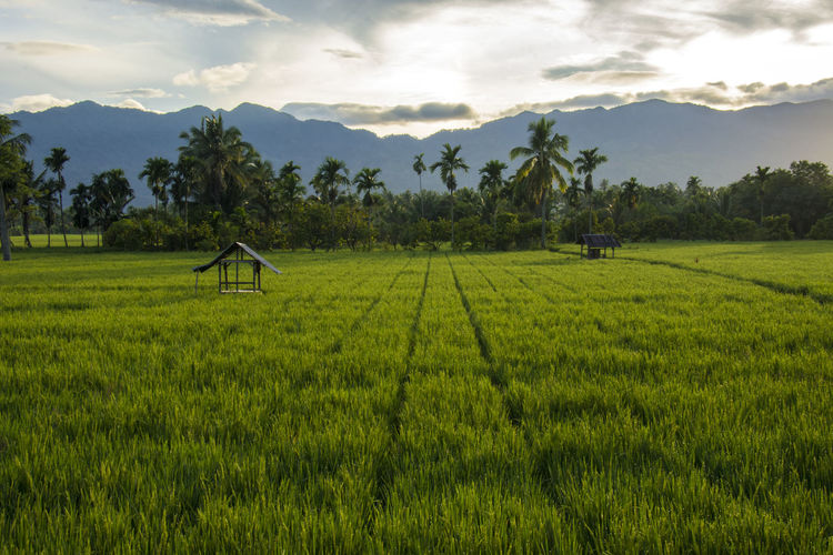 Plant Sky Agriculture Growth Scenics - Nature Cloud - Sky Land Landscape Green Color Tranquil Scene Environment Farm Beauty In Nature Nature Tranquility Rural Scene Tree Crop  Grass No People Outdoors Plantation Rice Rice Field Rice Paddy Fields View