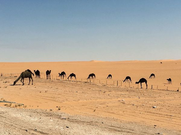 Camels 🐪 on desert iPhone 6S plus KSA Animal EyeEm Nature Lover Colour Your Horizn Iphone6splus #landscape #nature #photography EyeEmNewHere Mithatgüney Clear Sky Animal Themes Desert Animals In The Wild Copy Space Arid Climate Large Group Of Animals Outdoors Nature Sand Sky No People Beauty In Nature Landscape EyeEmNewHere