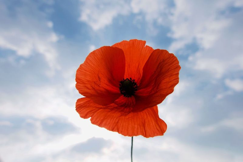Poppy Flower Flower Beauty In Nature Flowering Plant Fragility Petal Vulnerability  Freshness Close-up Sky Flower Head Nature No People Pollen Orange Color Growth Inflorescence Cloud - Sky Poppy Day Plant
