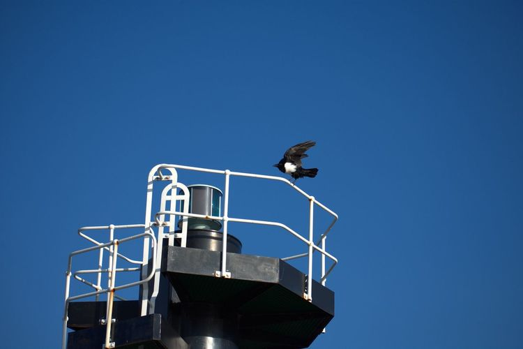 Pied Crow Clear Blue Sky Lighthouse Bird Windy Day Perching Corvus Albus Black And White Feathers Clear Sky Bird Blue Tower Spread Wings
