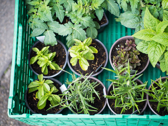 Leaf Plant Part Plant Green Color Growth Potted Plant Directly Above Nature No People Day Freshness Close-up Beauty In Nature Herb Outdoors Food Food And Drink Botany High Angle View Plant Nursery Flower Pot Mint Leaf - Culinary Houseplant