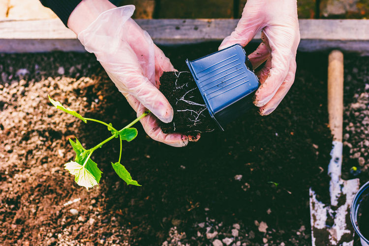 Hands of a woman in gloves transplant cucumber seedlings from a pot into the ground in a patch