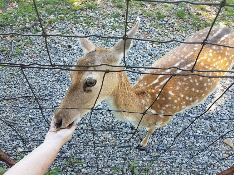 One Animal Human Body Part Animal Themes Day Mammal One Person Real People Domestic Animals Outdoors Petting Petting The Animals Petting Animals Doe Deer Animal Head  Human Hand Lifestyles Nature Close-up Adult People