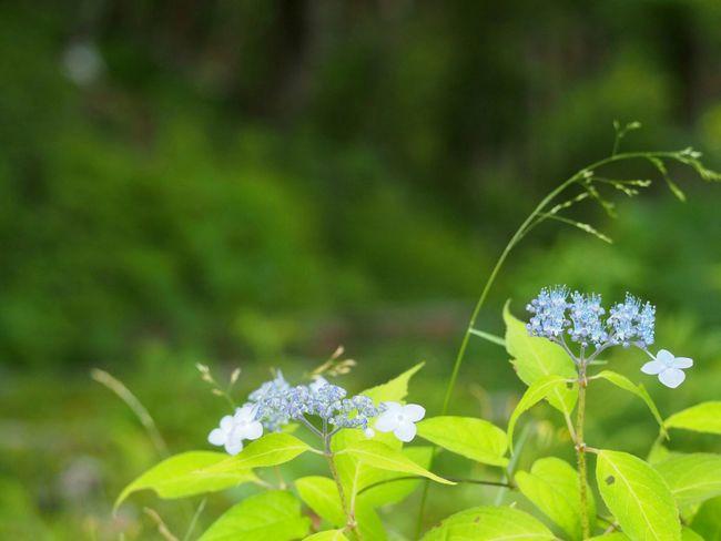 いいお天気☀ あじさい 山紫陽花 日だまり Flower Natural EyeEm Nature Lover Flower Collection EyeEm Best Shots EyeEm Gallery